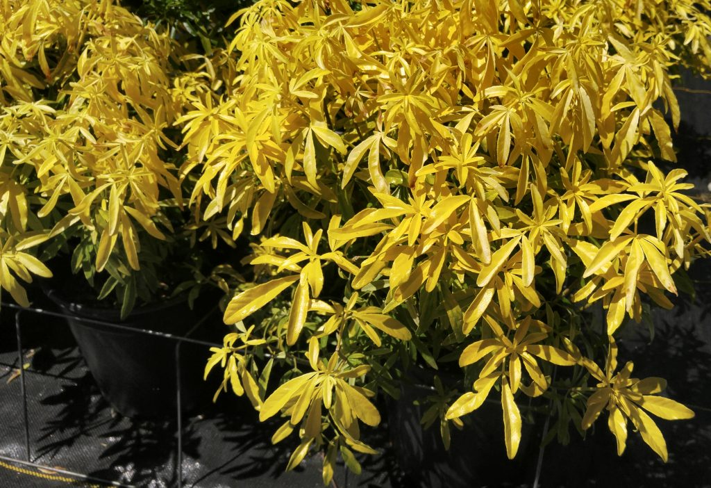 Choisya 'Goldfinger' - low maintenance plant