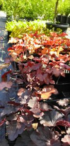 Heuchera 'Spellbound' Heuchera 'Bella Notte' Heuchera 'Paprika' Heuchera 'Fire Chief' Heuchera 'Delta Dawn' Heuchera 'Lime Marmalade'