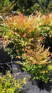 Nandina 'Gulf Stream' - low maintenance plant