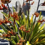 Phormium tenax 'Bronze' 1 - low maintenance plant