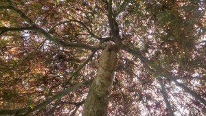 Acer palmatum var. dissectum 'Tamukeyama'