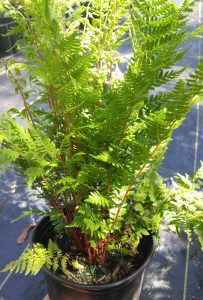 athyrium felix-femina lady in red