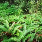 West Coast Ferns