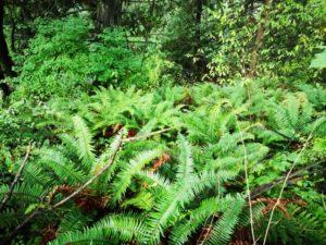 West Coast Ferns
