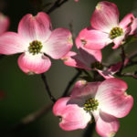 Dogwood Flower Pink