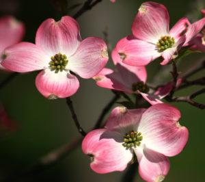 Dogwood Flower Pink