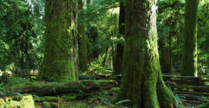 West Coast Forest - mossy trees